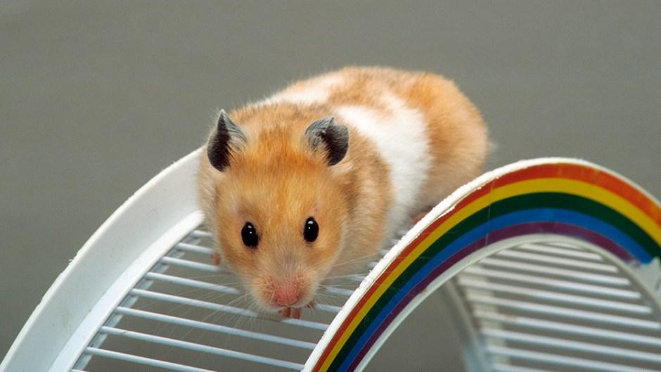 hamster-flushed-down-toilet