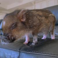 Celeb Pet Pigs 2