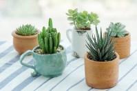 Succulents houseplants